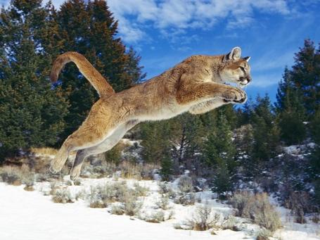 Raw_power_cougar-normal-1_medium