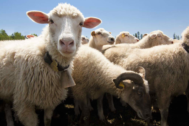SHUTTERSTOCK Sheep
