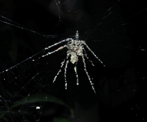 Cyclosa decoy spider