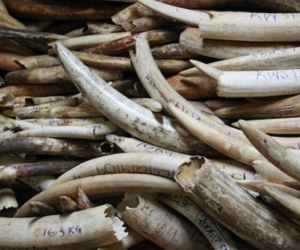 Seizure of illegal elephant tusks in Kenya