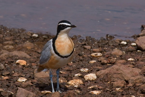 egyptian plover bird (shutterstock)