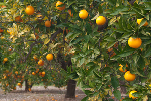 orange tree shutterstock