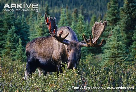 Moose-bull-feeding-beginning-to-shed-antler-velvet_medium