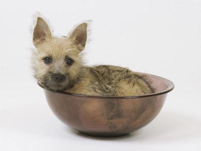 Cairn-terrier-puppy-4-months-old_medium