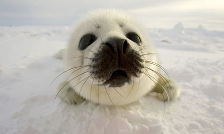A-pup-harp-seal-searches--002_medium