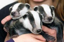 badgers fulham craven cottage