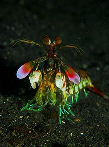 220px-mantis_shrimp_from_front_medium