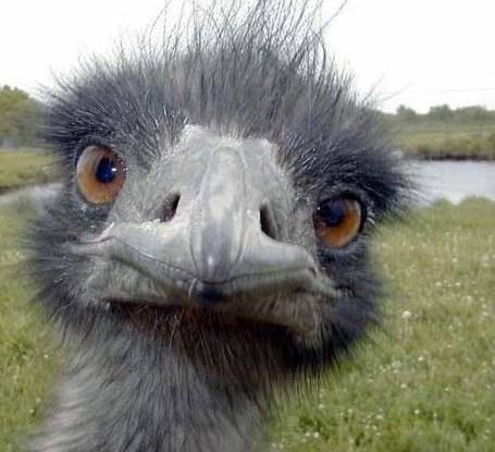 Ostrich-head_medium