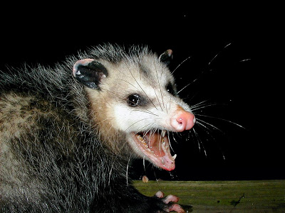 Possum_medium