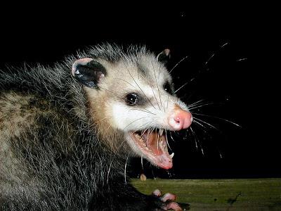 Possum_medium