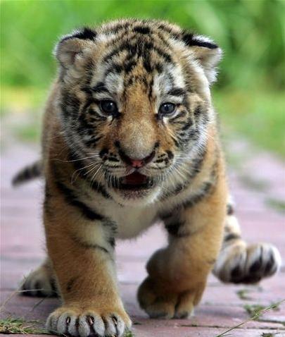 Tiger-cub_medium