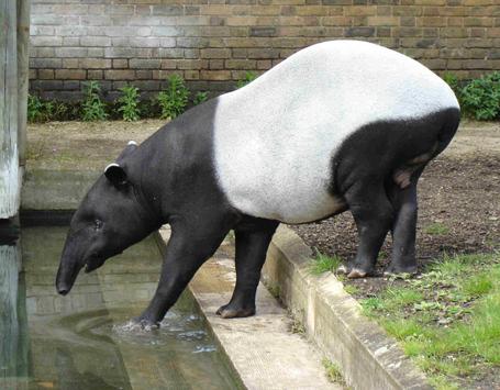 Malayan_tapir_jpg_medium