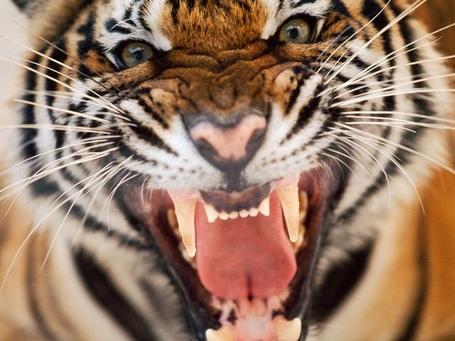 Tiger-face-snarl-hiss-close-up_20246_600x450_medium