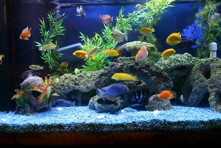 African_cichlids_2_164135728_medium