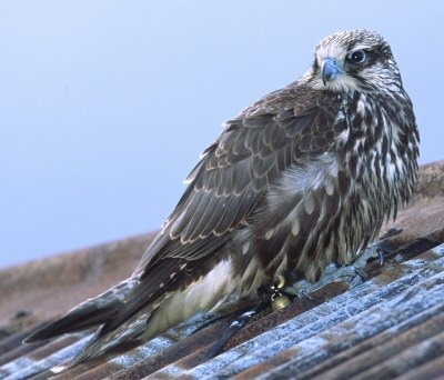 Bird-sightings-gyr-falcon-1a_medium