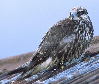 Bird-sightings-gyr-falcon-1a_medium