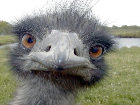 Emu_medium