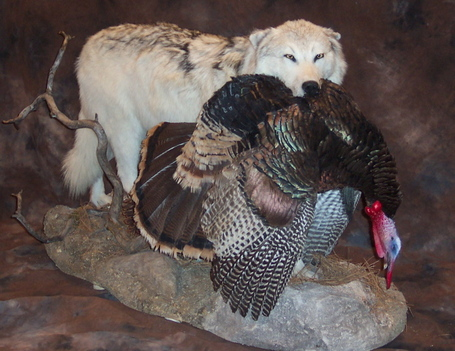 Whitetimberwolfwithturkeyonrock3200_medium