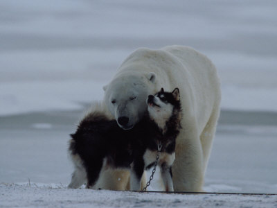 Norbert-rosing-a-polar-bear-ursus-maritimus-and-a-husky-cuddle-up-to-each-other-in-the-snow_medium