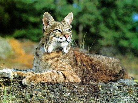 Bobcat_lying_medium