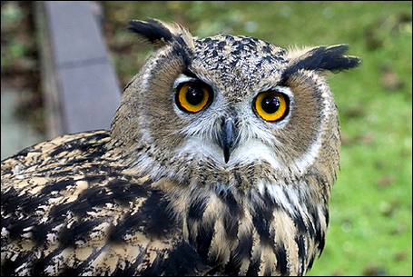 European_owl_1_467x313_medium