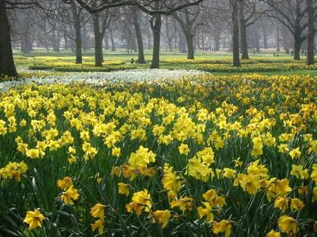 P115418-london-daffodils_in_green_park_london_medium