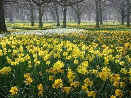 P115418-london-daffodils_in_green_park_london_medium