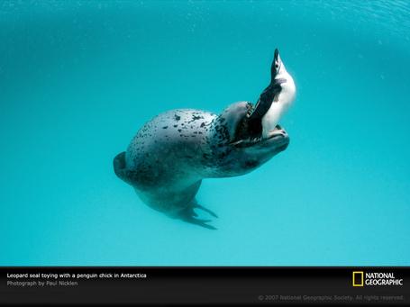 Leopard-seal-with-penguin-1045588-sw_medium