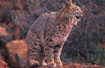 Bobcats_medium