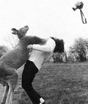 Kangaroo_knockout_b_w_funny_photography_boxing-592ecab29b369e7038a18e964f9b33f8_h_medium