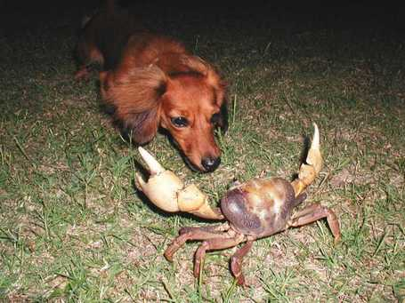 Dog_vs_crab_medium