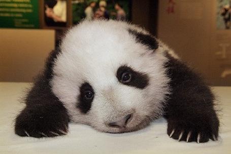 Pandas75za_medium