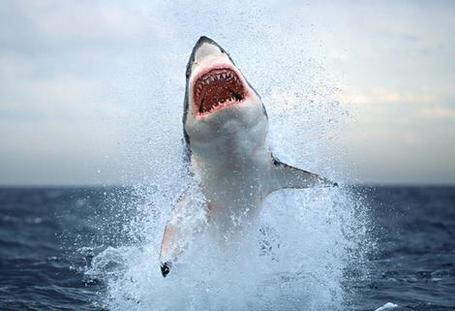 Jumping-great-white-shark_medium