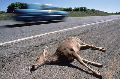 Roadkill_deer_medium