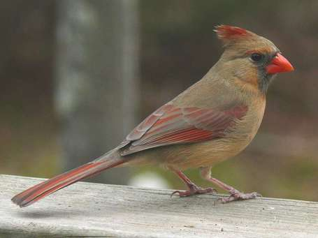 Northern_cardinal_female_medium