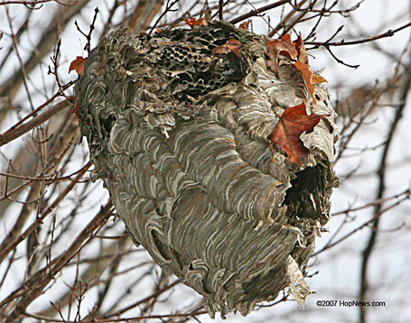 Hornets_nest_broken_medium