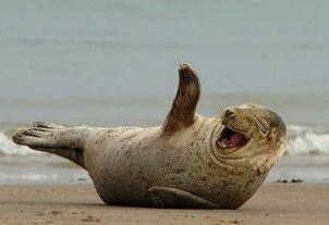 Seal_laughing_medium