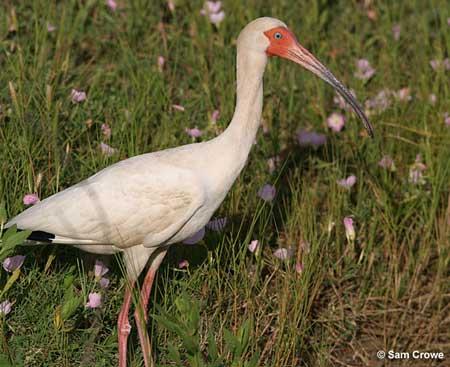 White-ibis-450_medium
