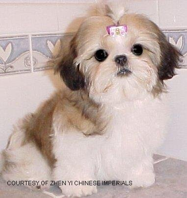 1198064145chinese_imperial_dog_medium