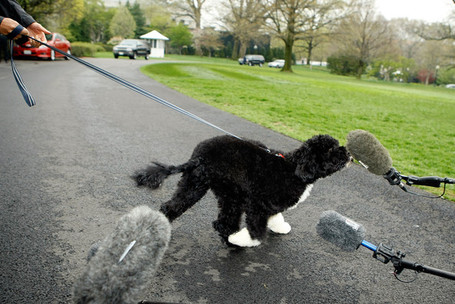White_house_debuts_obamas_new_dog_bo_portuguese_s9wlo3dzqb1l_medium