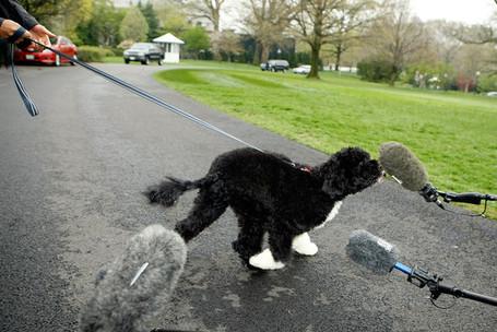 White_house_debuts_obamas_new_dog_bo_portuguese_s9wlo3dzqb1l_medium