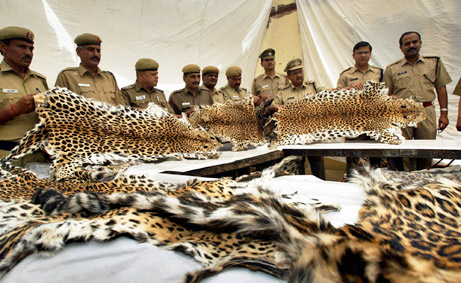 poaching_leopard