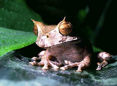 Horned_252520frogs_medium