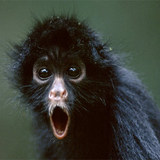 Black-spider-monkey