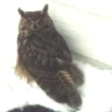 Small_owl