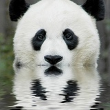 Animal-picture-panda-bear-ucumari-animalpicture