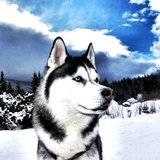 Siberian-husky2
