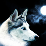 Wolf_wallpaper_by_tigrshark_2_