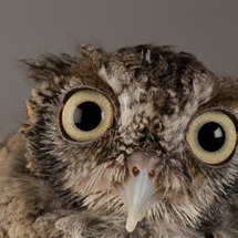 National_geographic_eastern_screech-owl