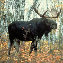220px-moose_superior